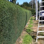 hedge-trimming-after